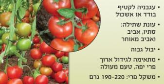 זרעי עגבניה סגולה