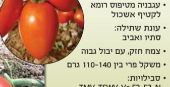 זרעי עגבניה גילה