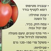 זרעי עגבניה אנבל